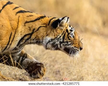 Wild Bengal Tiger (Panthera Tigris Tigris) close view in Ranthambore national park, India - stock photo