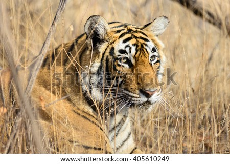 Wild Bengal Tiger (Panthera Tigris Tigris) hiding to catch her Prey, Ranthambore national park, India - stock photo