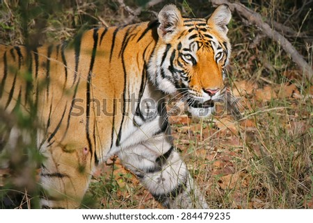 WILD Bengal Tigress (Panthera tigris) in the forests of Bandhavgarh, India. The largest of cats, this endangered species is notoriously elusive & difficult to photograph in the wild. - stock photo