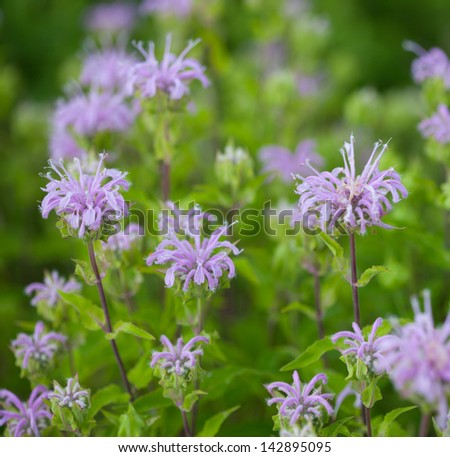 Wild Bergamot (Monarda fistulosa) flowers - stock photo