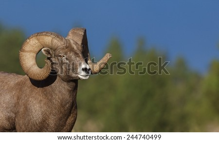 Wild Bighorn Sheep Full Curl Ram against a natural background of evergreen trees and clear blue sky Big game in Rocky Mountain states of Colorado Montana Wyoming Idaho Oregon Washington Utah Nevada