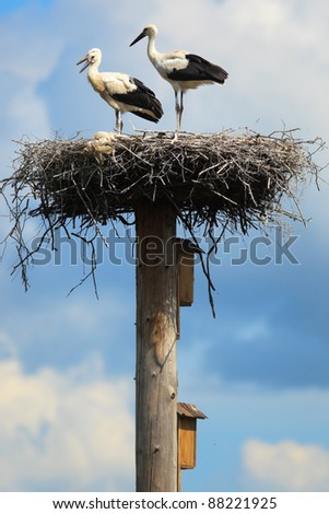 Wild bird in a natural habitat. Wildlife Photography. Ciconia ciconia, Oriental White Stork.