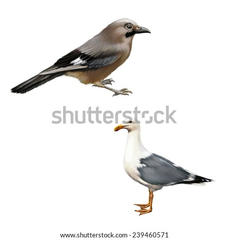 Wild bird with blue feathers on whings, white bird seagull isolated on white
