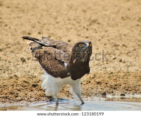 Wild Birds from Africa - Martial Eagle with super shiny Yellow eyes. - stock photo