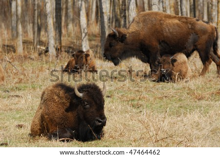 Wild bison herd grazing in the elk island national park in spring, alberta, canada
