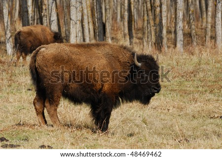 Wild bison herd grazing in the elk island national park in spring, alberta, canada - stock photo