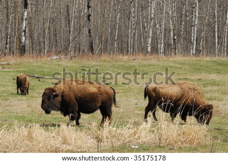 Wild bison herd in the elk island national park in spring, alberta, canada - stock photo