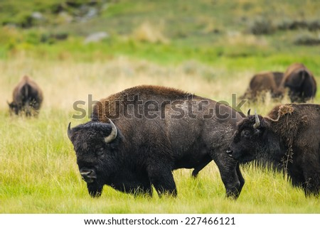 Wild Bison herd of Lamar Valley, Yellowstone National Park - stock photo