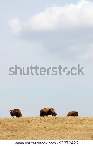 Wild bison herd wandering in the elk island national park in spring, edmonton, alberta, canada - stock photo