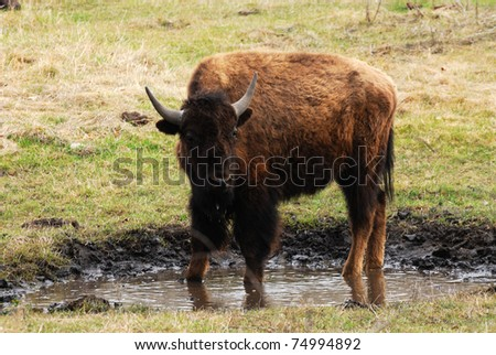 Wild bison in the elk island national park in spring, alberta, canada - stock photo