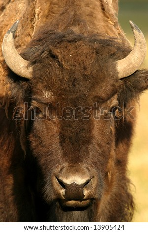 wild bison in yellowstone national park, north america - stock photo