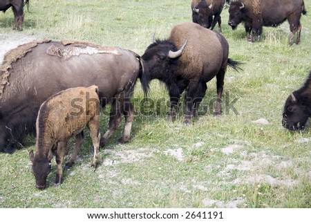 Wild bison in Yellowstone National Park, Wyoming - stock photo