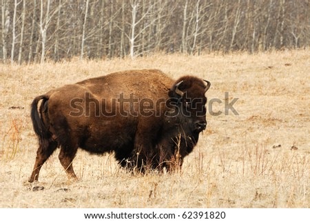 Wild bison wandering in meadowland in spring, elk island national park, alberta, canada - stock photo