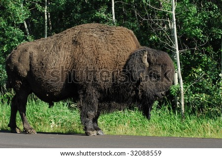 Wild bison wandering in meadowland in summer, elk island national park, alberta, canada - stock photo