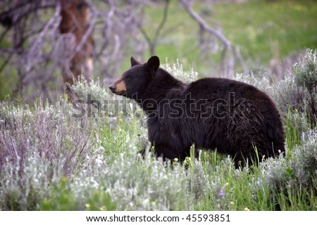 Wild black bear - stock photo