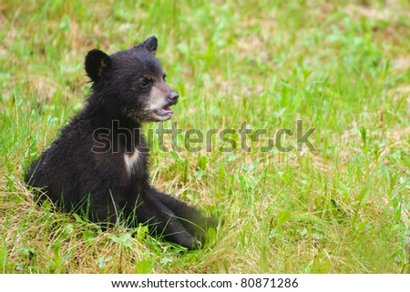Wild Black Bear family, mother and three cubs in Jasper National Park Alberta Canada - stock photo