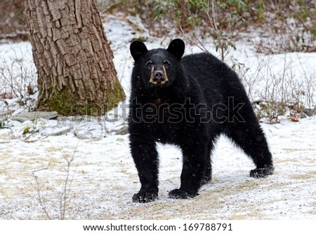 Wild black bear in winter, located in the Poconos of Pennsylvania - stock photo