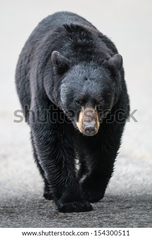 Wild Black Bear walking down a road, Jasper National Park Alberta Canada - stock photo