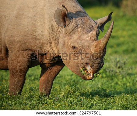 Wild Black Rhino with hooked lip eating lush grass in South Africa