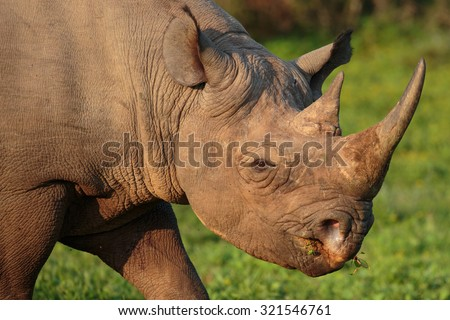 Wild Black Rhino with hooked lip in South Africa - stock photo