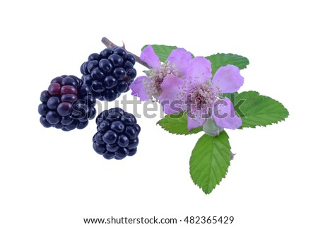 Wild blackberries with pink bramble flowers and leaves. Isolated on white background.
