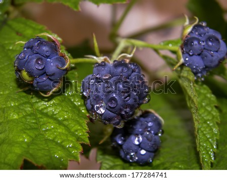 Wild blackberry berries on branch with water drops. - stock photo