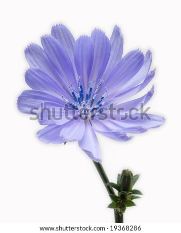 wild blue flower in blossom - stock photo
