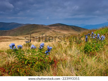 Wild blue flowers in the foreground in Mountain Valley. Autumn landscape.   - stock photo