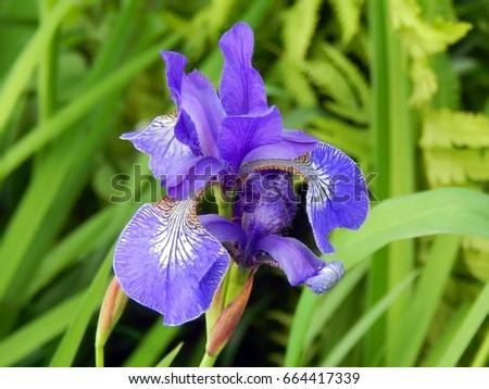 wild blue iris flower