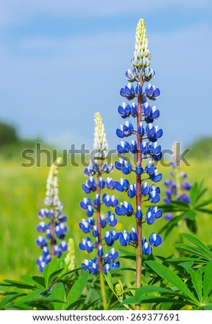 Wild blue lupins blooming on spring meadow on sky background - stock photo