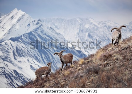 Wild blue sheep are standing on a hill next to Himalayas. Nepal, ACAP, Manang region, (4,550 m) - stock photo