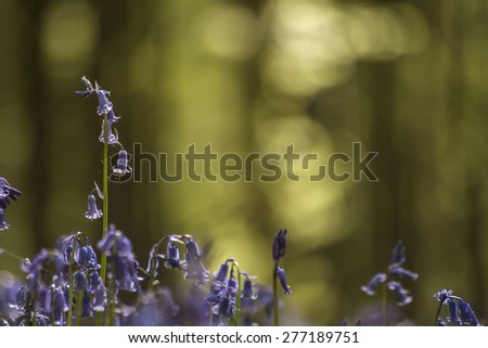 wild bluebells blooming in april  - stock photo