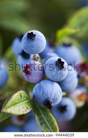 Wild blueberries growing in a vast open field in Maine. - stock photo