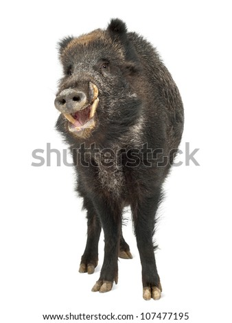 Wild boar, also wild pig, Sus scrofa, 15 years old, portrait standing against white background - stock photo