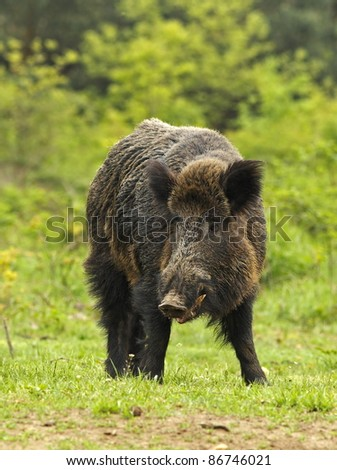 Wild boar before a thicket (Sus scrofa).