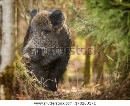 Wild boar being cautious in the forest - stock photo