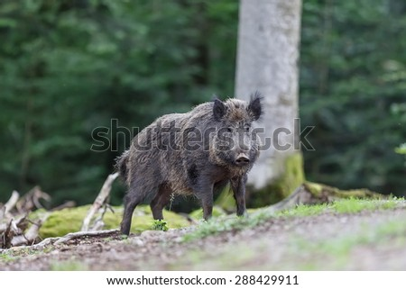 Wild boar coming from forest - stock photo
