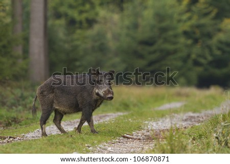 Wild boar crossing forest path - stock photo