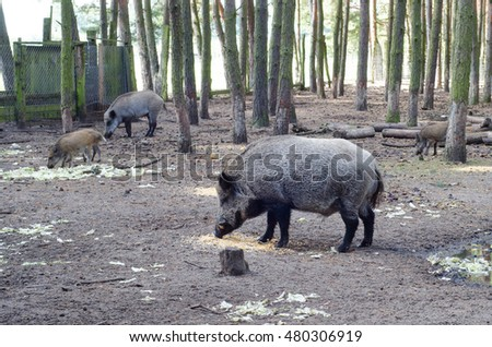 Wild boar family (Sus scrofa) in a semi-natural environment in Brandenburg (Germany)