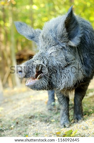 Wild boar in autumn forest - stock photo