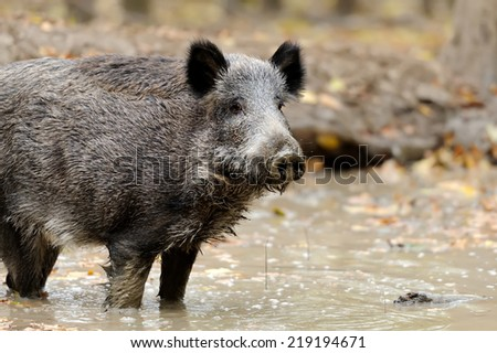 Wild boar in autumn forest. Boar in dirt