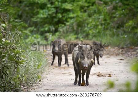Wild boar in Bardia, Nepal ; specie sus scrofa - stock photo