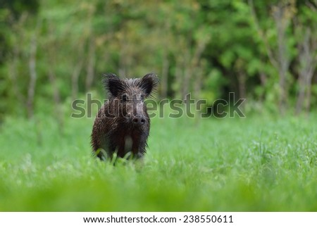 Wild boar in the summer - stock photo