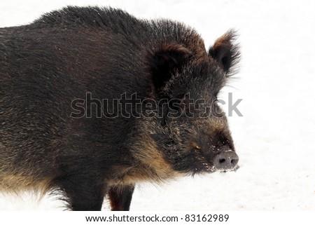 wild boar in winter - stock photo