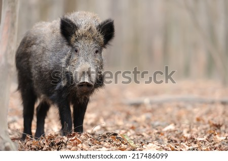 Wild boar in wood. Boar in dirt - stock photo