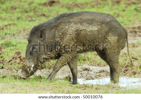 Wild Boar in Yala West National Park, Sri Lanka - stock photo