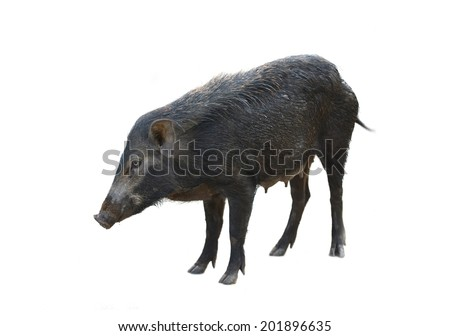 wild boar isolated on white background