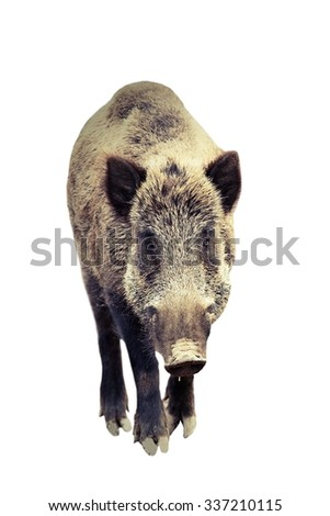 wild boar isolated over white background,  full length with vintage look ( Sus scrofa ) - stock photo