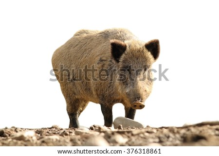 wild boar looking at the camera ( Sus scrofa ), isolation over white