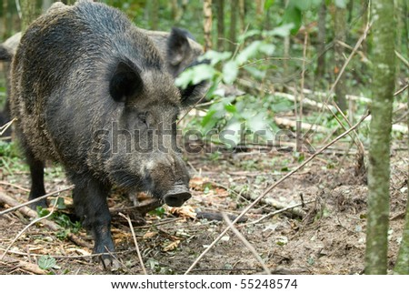 Wild boar on a background of wood - stock photo
